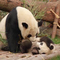 decoration panda